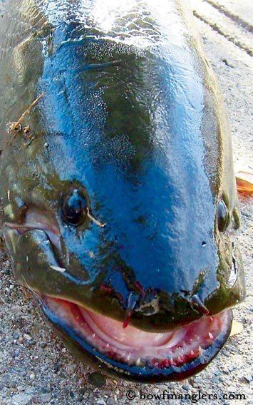 Bad, Bad Bowfin | | TPW magazine | March 2009