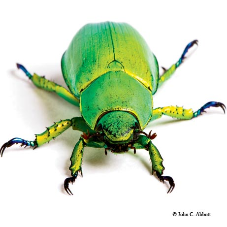 A jewel beetle (Chrysina woodi), from the Davis Mountains, is one of the few animals on the planet that can see circularly polarized light in the same way that we use glasses to view 3-D movies.