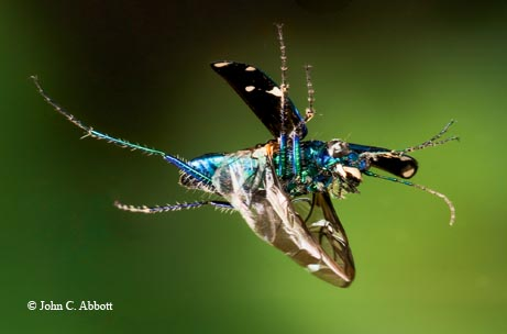 The six-spotted tiger beetle (Cicindela sexguttata) is equally capable of avoiding predators by flying in the air or running on the ground.