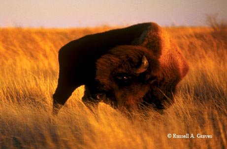 A plains bison surveys the prairie at Caprock Canyons State Park.