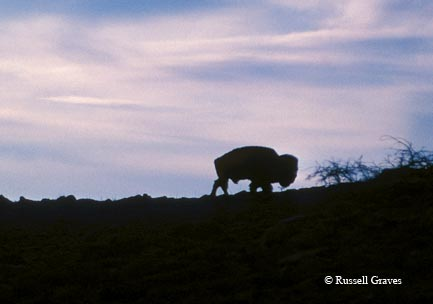 A bison on a private ranch in northern Texas