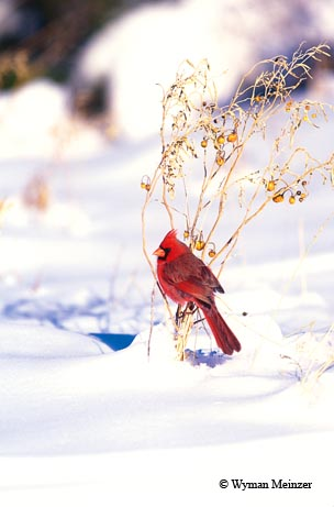A male northern cardinal finds a moment of rest after a winter storm.