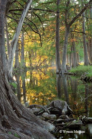 Stately bald cypress trees line the course of the Sabinal River near Utopia.