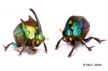 These striking dung beetles — the male and female rainbow scarab (Phanaeus difformis) — are commonly found in cow pastures throughout Texas.