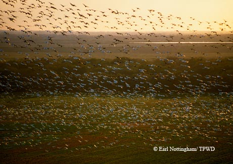 Wintering snow geese head to their evening feeding grounds near El Campo, as seen in this bird's-eye view.