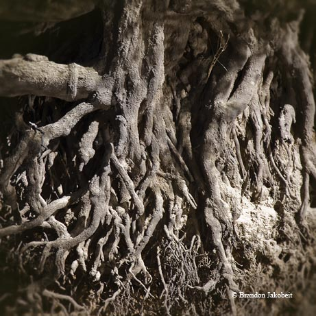 Exposed roots along the banks of the Neches River.