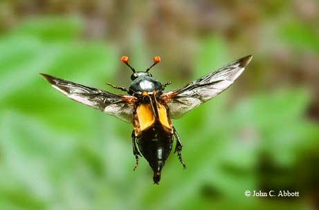 The burying beetle (Nicrophorus carolinus) mimics a wasp while in flight by inverting its elytra (forewings). A pair of these intriguing beetles will bury a small animal carcass, lay their eggs on it and then guard the young as they feed.
