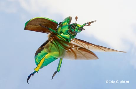 A brilliant jewel beetle (Chrysina woodi) flies between walnut trees in the Davis Mountains.
