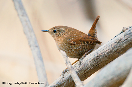 Wrens Boast Busybody Energy and Beautiful Songs|| TPW