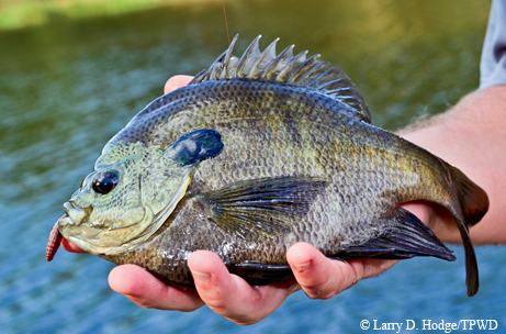 In texas sunfish are fun fish tpw magazine october 2012 for Texas fish species