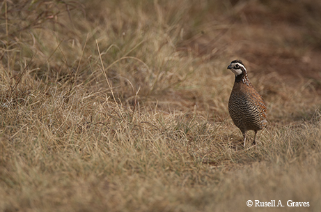 Can We Bring Quail Back?|| TPW magazine|December 2015