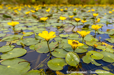 Invaders aquatic flowers invade texas lakesaugustseptember 2016 yellow floating heart flowers resemble those of native species such as little floating heart and spatterdock crested floating heart flowers are white and mightylinksfo