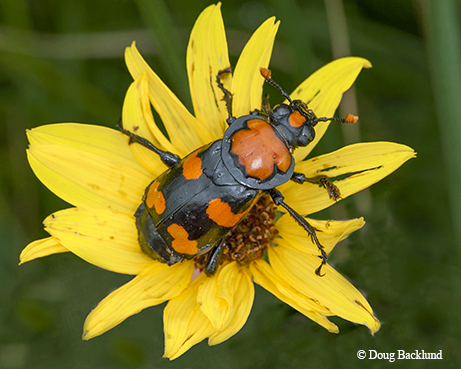 Wild Thing Beetle Parenting Is Good But Gory Tpw Magazine