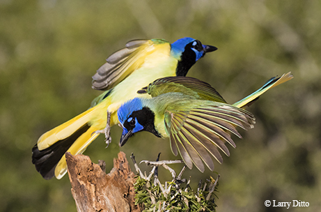 Colorful Green Jays Add Tropical Flair To The Bird Life Of The Rio Grande  Valley.