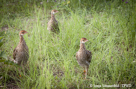 Attwaters Prairie Chickens Born To Boom Tpw Magazinemay 2018